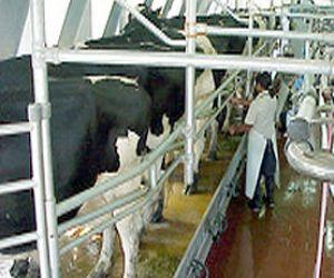 Normaliza de a poco la recolecci 243 n de leche tregua en chaz 243 n y la
